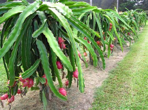Plant Pots For Sale by Dragon Fruit Pitaya Hylocereus Sp