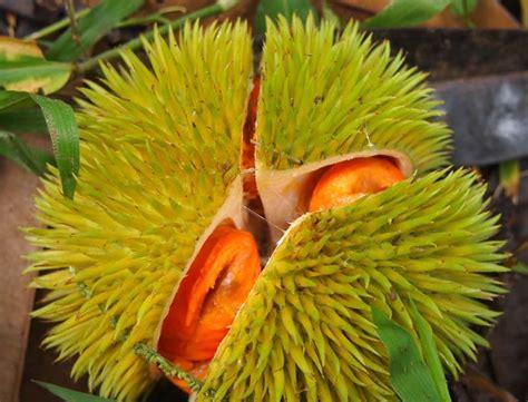 fruit 10 malaysia colorful durian in malaysia wan s world