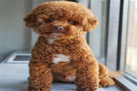brown maltipoo puppies maltipoo breeds 101 beginners guide about maltipoo dogs