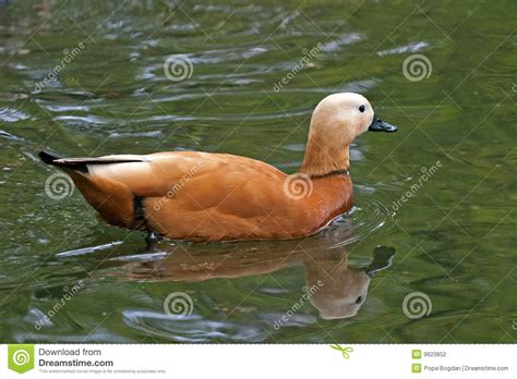 asian duck stock photography image