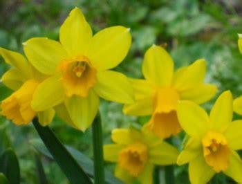 fiori di marzo fiore di compleanno per il mese di marzo significato