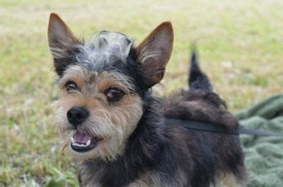 yorkies for sale in lafayette la wirehaired terrier terrier yorkie mix an adopted in lafayette la for