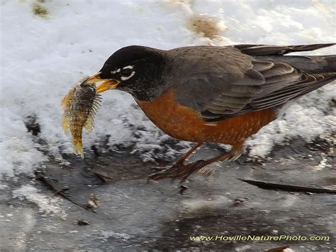 robins citizen scientists track american robin migration