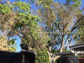 tree fresno ca 45 year modesto ash tree had to come due to split