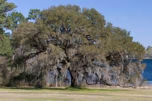 Live Oak Florida Nature Quercus Virginiana Live Oak