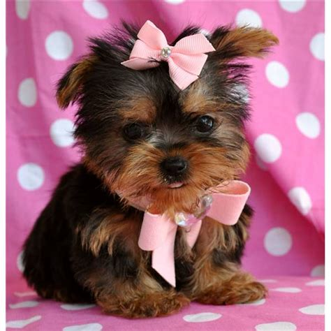 tracup yorkie college tennis classifieds baby healthy most affectionate teacup yorkie