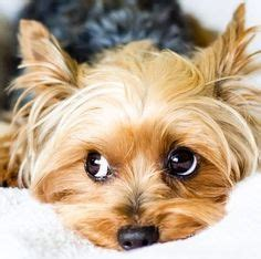 are yorkies yappy 1000 images about yappy terriers on yorkie yorkies and yorkie