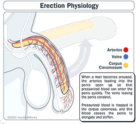 how to a penis exercises against erectile dysfunction 26 best erectile dysfunction images on pinterest healthy