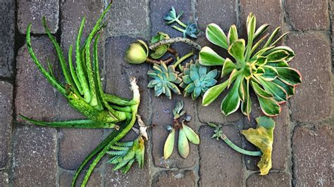 Propagating Succulents Can Be Done By Using The Offsets - propagating succulents you can do it three ways