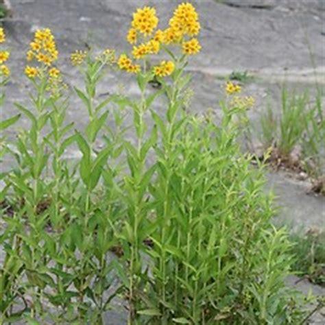 lysimachia vulgaris (garden yellow loosestrife): go botany