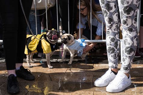 celebrating pugs and pups pug dogs and their owners enter the competition for the pug dressed in the best