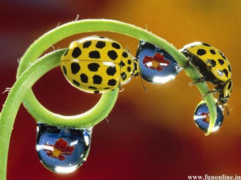 colors of ladybugs ladybugs in pretty yellow colors and black spots colour