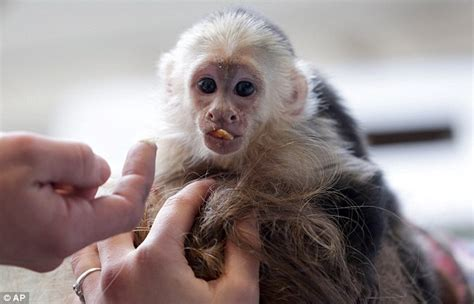 justin bieber s pet monkey is given to a zoo after singer fails to collect him daily mail online