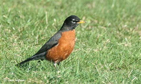 signs of spring the american robin