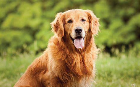 golden retriever health issues 15 of the most popular breeds and their health issues lifevantage us