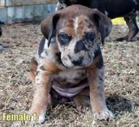 catahoula puppy for sale 383 best images about cata what on hound coat patterns and