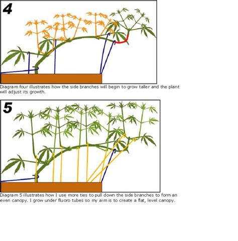lst diagram guide to topping pruning marijuana plants