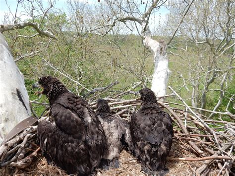 eagle nest 171 conserve wildlife foundation of new jersey