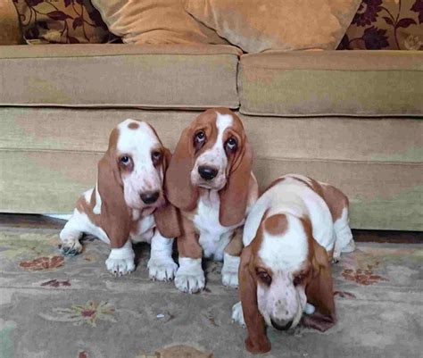 basset puppies for sale basset hound puppies for sale newark nottinghamshire pets4homes