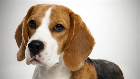 pics of beagle puppies beagle breed selector animal planet