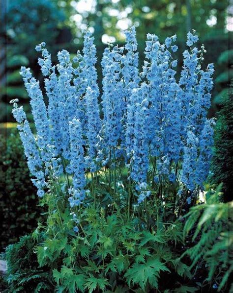 Fleurs Bleues Vivaces by Fleurs Bleues Vivaces Hautes