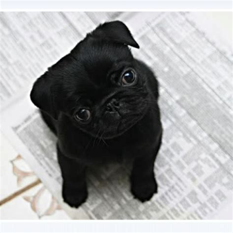baby pug pin by rina hearts on pug babies