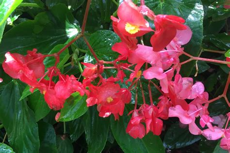 begonias bountiful beauties of summer bellingrath gardens home