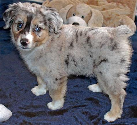 australian shepherd puppies for sale florida mini australian shepherd puppy for sale in boca raton south florida