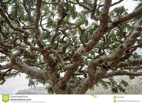 frankincense trees boswellia sacra olibanum tree stock