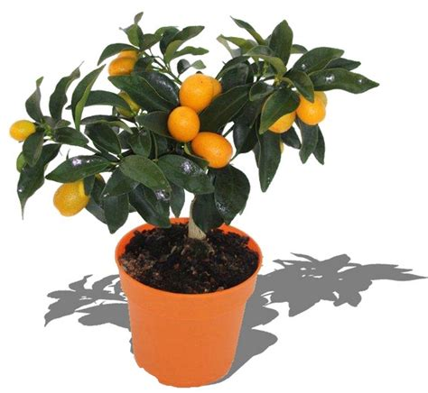 tanaman jeruk nagami nagami kumquat bibitbungacom