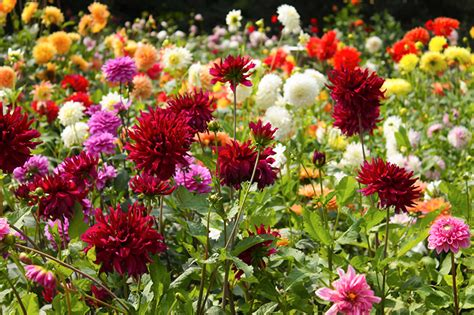 digging and storing dahlias for winter american meadows blog