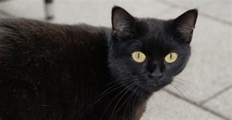 black cat black cat superstition good and bad luck beliefs