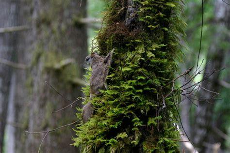 mammifero volante un nuovo scoiattolo volante national geographic