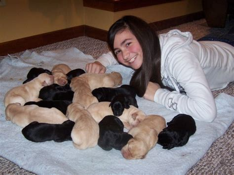 lab puppies for sale in montana labrador retriever breeders and for the