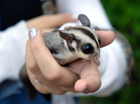 can 39 t handle those cute sugar gliders saturday is