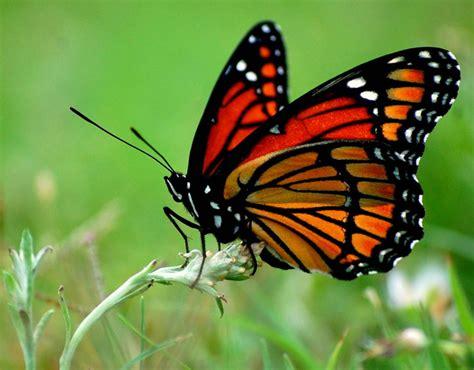 imagenes de mariposas monarcas ya lleg 211 la mariposa monarca a michoac 193 n el santuario el