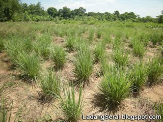 Benih Serai Peha Ayam ladang serai lemongrass farm malaysia merumput