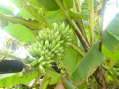 bananas on tree falsa baya wikiwand