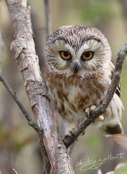 95 Best Owl Images On Animal - 35 best images about sowy on beautiful owl