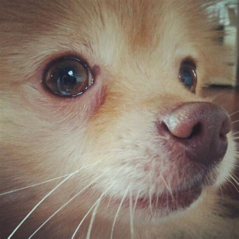 pomeranian nose pomeranian canine nose photograph by tracy hager