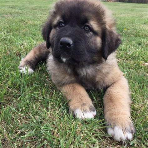 caucasian shepherd for sale caucasian shepherd puppy for sale in expired friday ad