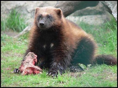 animal dormeur beszamel i sp 243 蛯ka bez ogranicze蜆 zagro蠑one ssaki europy