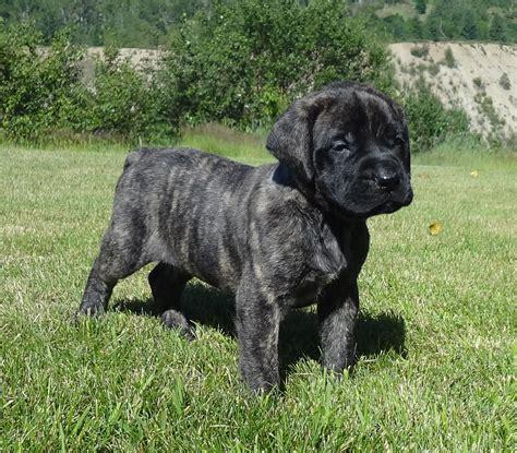 mastiff puppies indiana brindle mastiff breeds picture