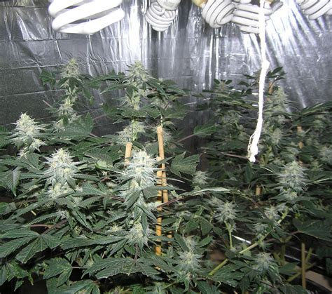 cfl ls for growing weed how to get alot of weed cheap