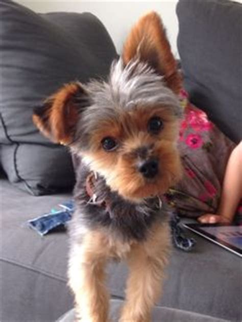 yorkie round face cut teddy bear yorkie haircut bing images cute dogs