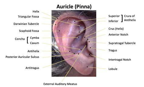 the human ear the auricle part 2 wayne staab wayne s world
