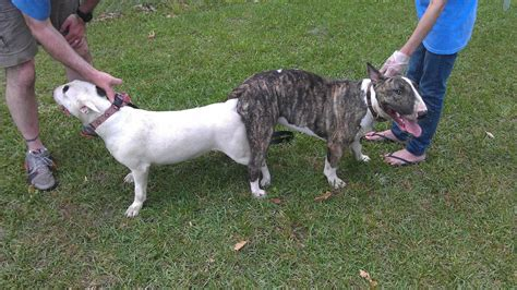 stud service our bull terrier stud service practices and procedures