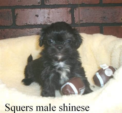puppies for sale in tuscaloosa al shinese puppies for sale adoption from tuscaloosa alabama adpost classifieds