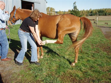 hind leg pro canby oregon 503 980 8739 horses muscles equine