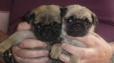 pugs for sale 2 beautiful pugs for sale bargoed caerphilly pets4homes